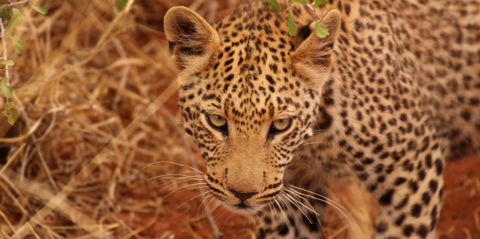 Namibia leopard
