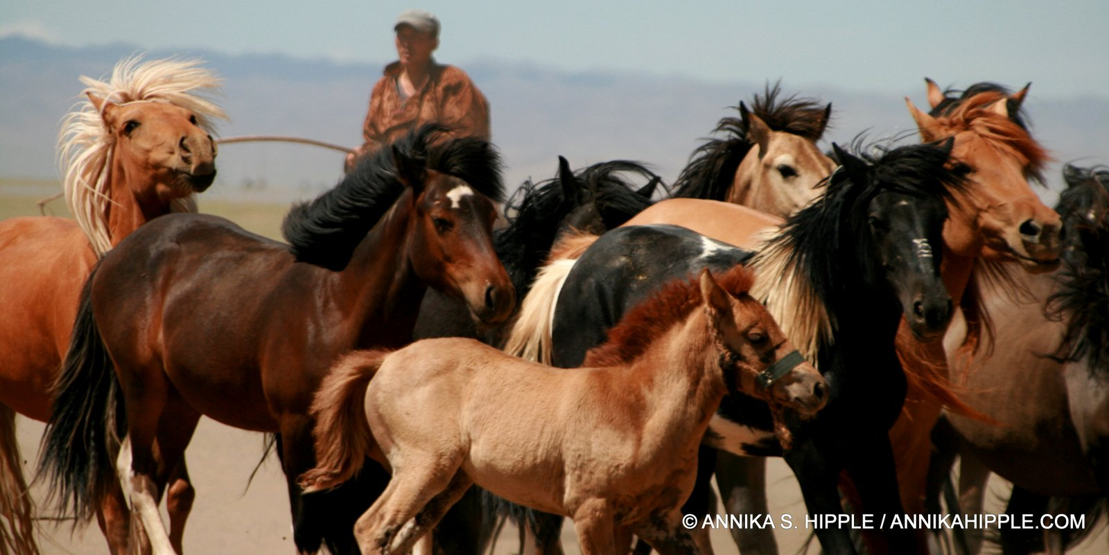 Herding horses in the Gobi