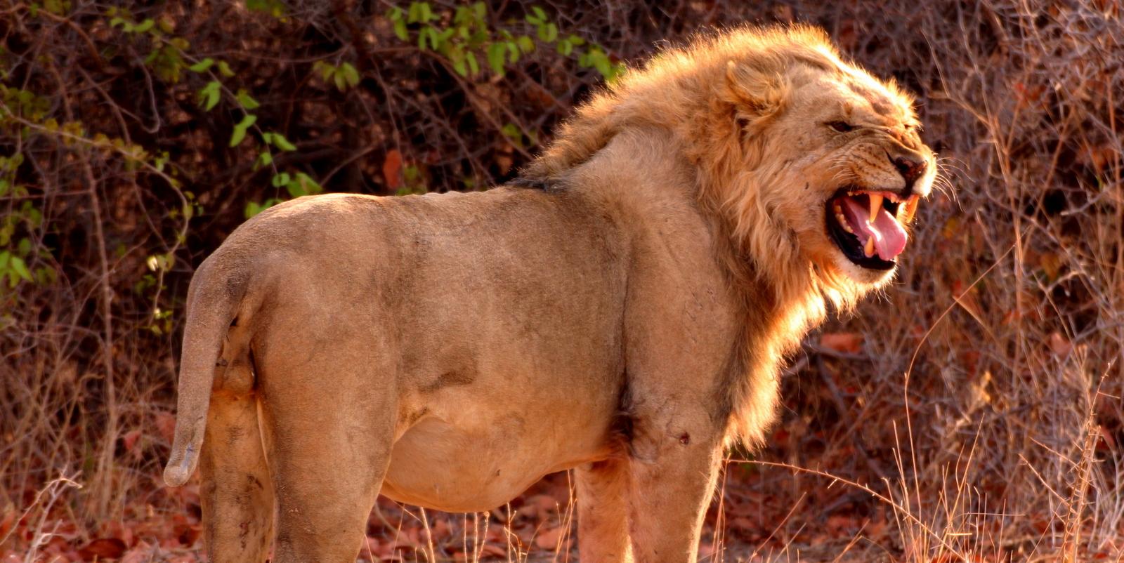 Namibia lion